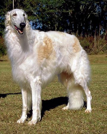 Anjing Borzoi