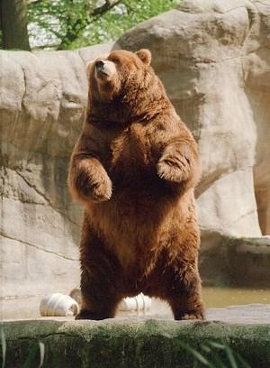 beruang-cokelat