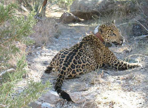 jaguar Arizona