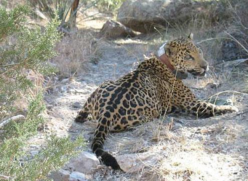 jaguar Arizona