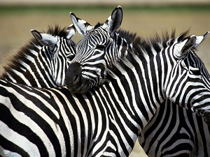 Zebra dataran