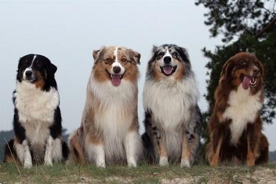 anjing-australian-shepherd