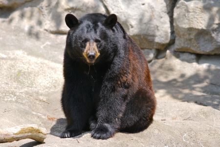 gambar-beruang-hitam