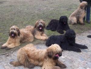 Anjing Briard