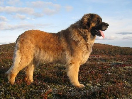 Anjing Leonberger