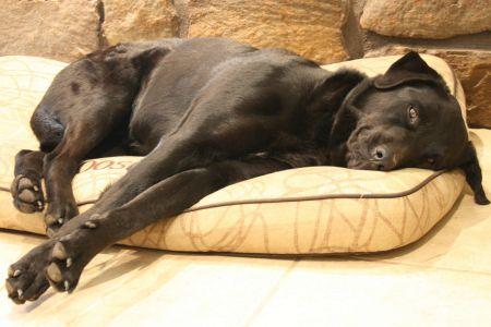 Anjing Tidur