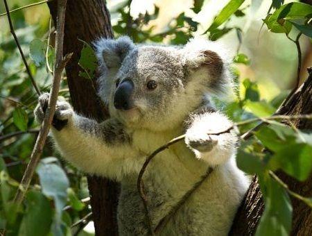 Koala Lucu