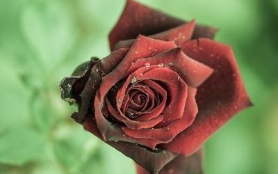 Mawar Merah Tua
