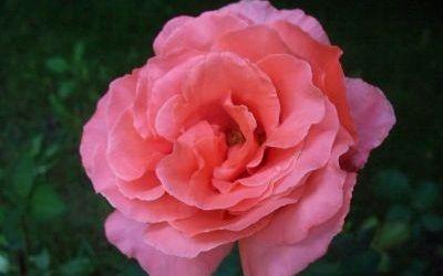 Mawar Pink