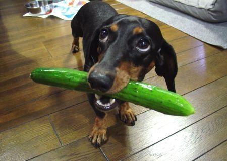 Mentimun dan Anjing