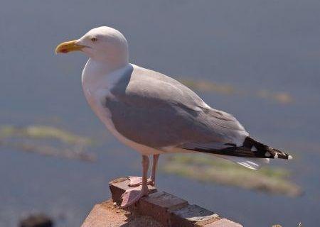 Burung Herring Gull