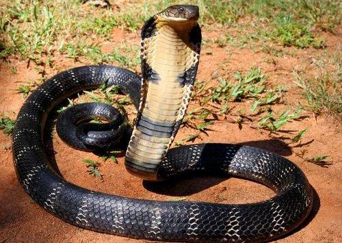 Gambar Ular Kobra