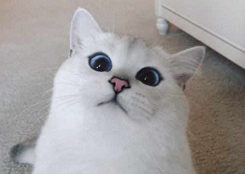 Coby Kucing Bermata Indah