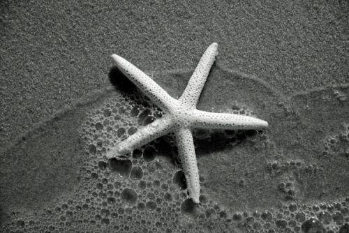 bintang laut hitam putih