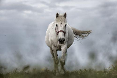 gambar kuda australia