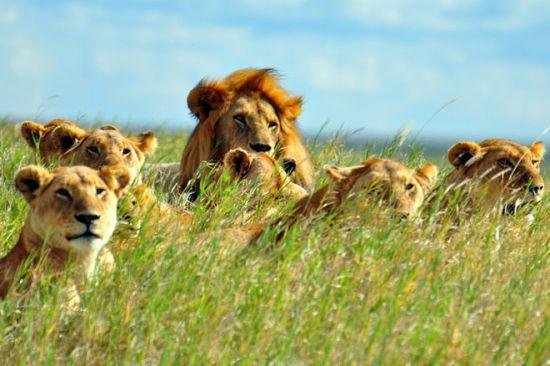 Gambar Singa Berkeliaran