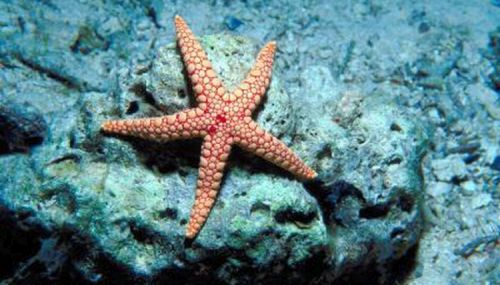 bintang laut anak sd