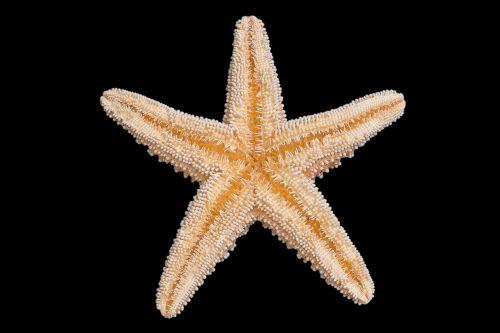 hewan bintang laut