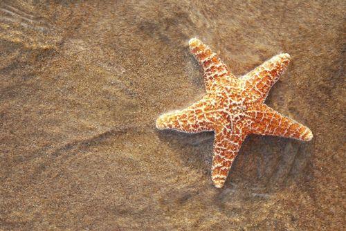 fauna bintang laut