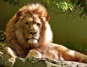 Singa Jantan Afrika