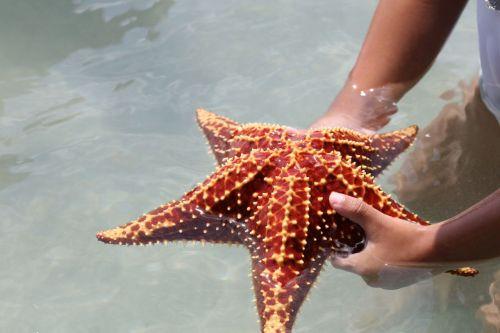 Ukuran asli bintang laut