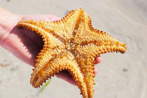 contoh gambar bintang laut