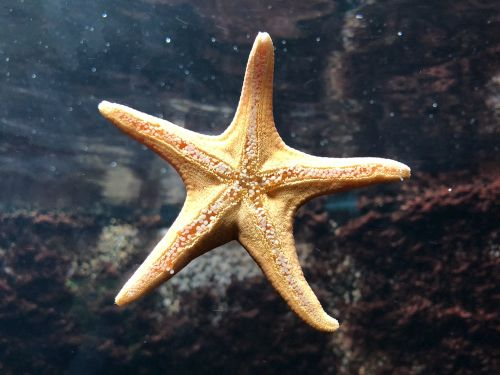 gambar bintang laut