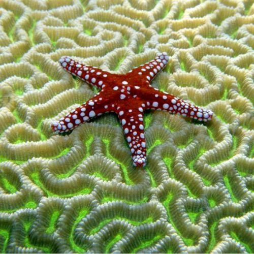 cari gambar bintang laut