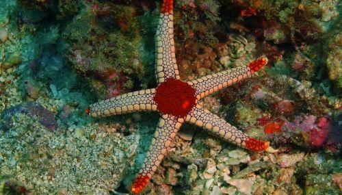 cara membuat gambar bintang laut