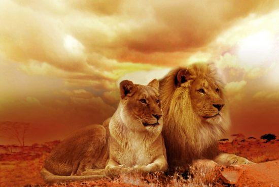 Singa di Habitatnya