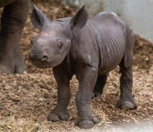 foto bayi badak