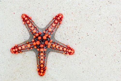 gambar daur hidup bintang laut