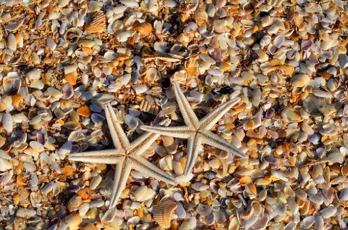 gambar siklus hidup bintang laut