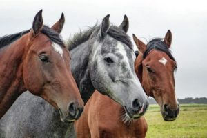 gambar kuda dan keledai