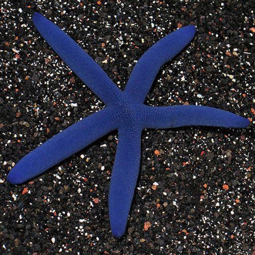bintang laut biru