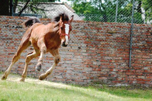 gambar kuda eropa
