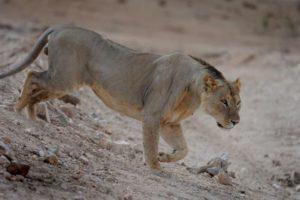 Gambar Singa Gundul