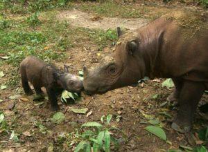 Badak Sumatra di Alam Liar