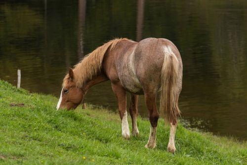 gambar kuda grandia