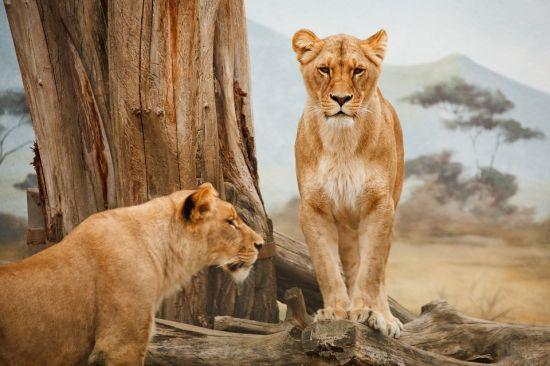 Gambar Kawanan Singa