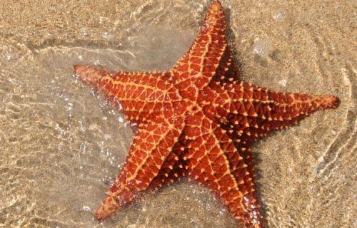bintang laut yang mudah