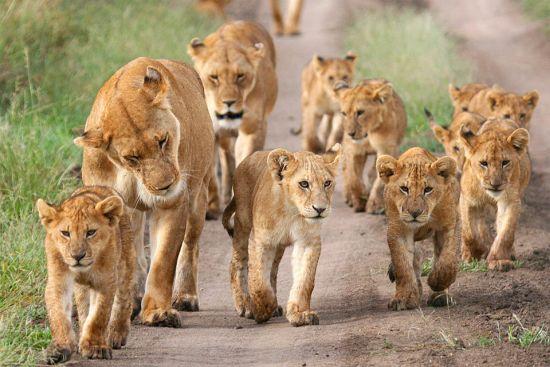 Gambar Singa dan Keluarganya