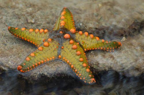 bintang laut untuk mewarnai