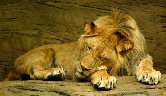 Gambar Singa Tidur