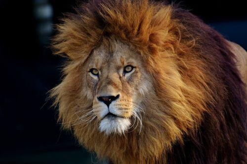 Gambar Singa Paling Keren