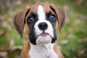 Anjing Pemula