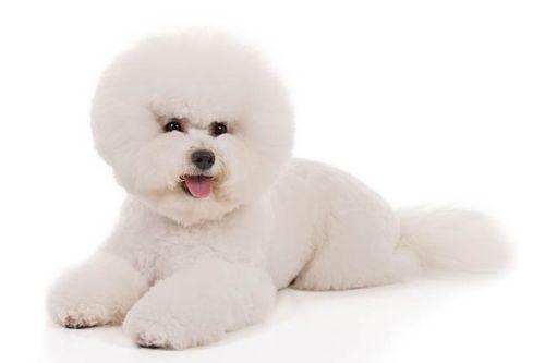 Gambar Anjing Bichon Frise