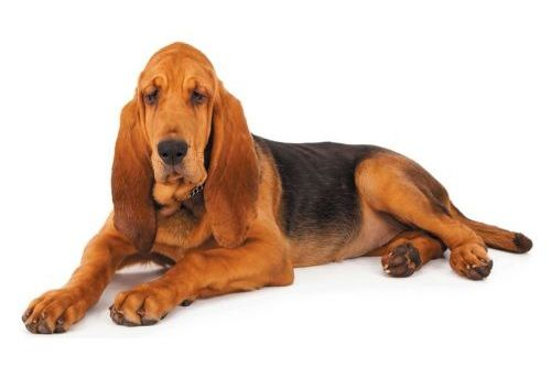 Anjing Bloodhound