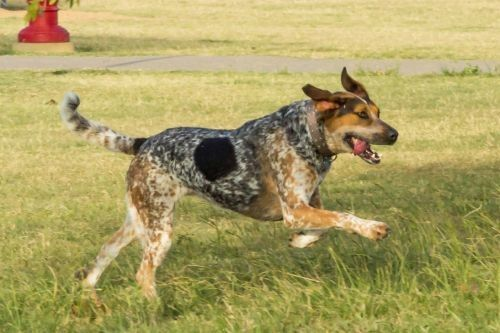 Anjing Bluetick Coonhound