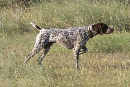 Anjing German Shorthaired Pointer